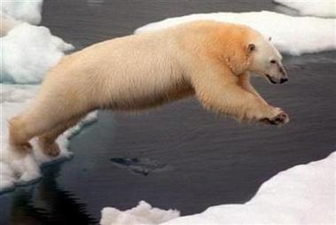 polar-bear-looking-for-ice